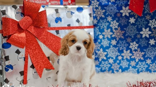 Grand Rapids Cavalier King Charles Spaniel Puppies for sale