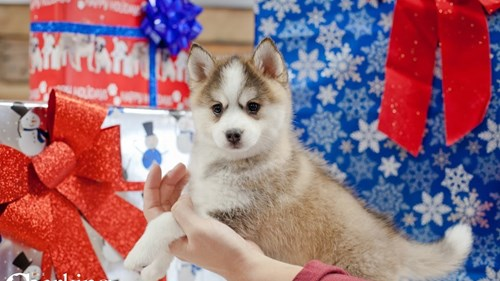 Grand Rapids Pomsky Puppies for sale