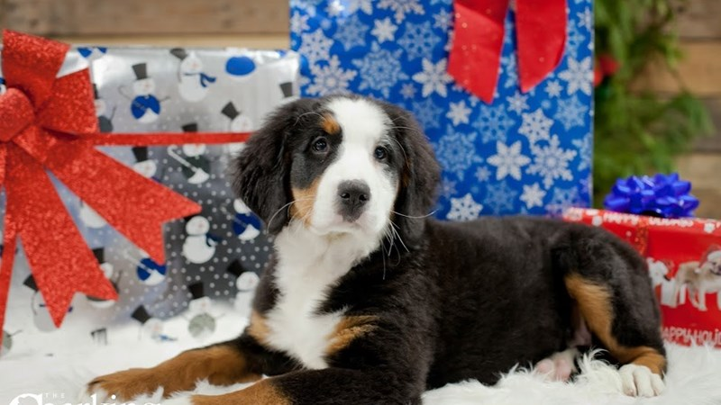 Grand Rapids Bernese Mountain Dog Puppies