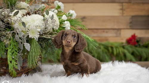 Grand Rapids Dachshund Puppies for sale