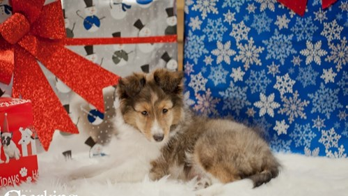 Grand Rapids Shetland Sheepdog Puppies for sale