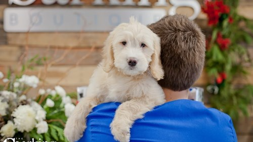 Grand Rapids Mini Goldendoodle Puppies for sale