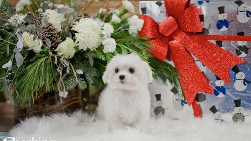 Grand Rapids Maltese Puppies for sale