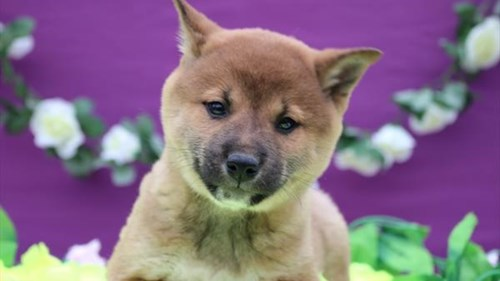 Grand Rapids Shiba Inu Puppies for sale