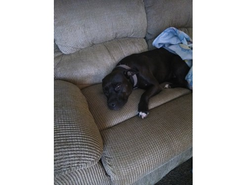 gucci, a lost dog, is missing in Fort Worth, TX 76116