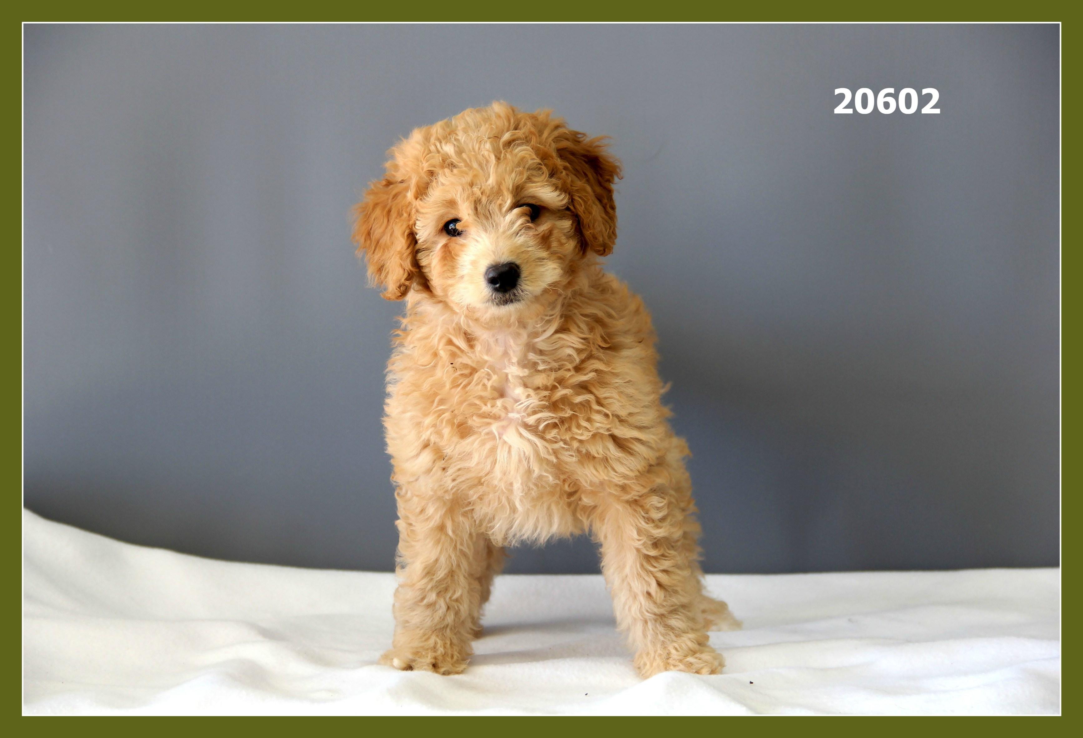 Mini Goldendoodle 2nd