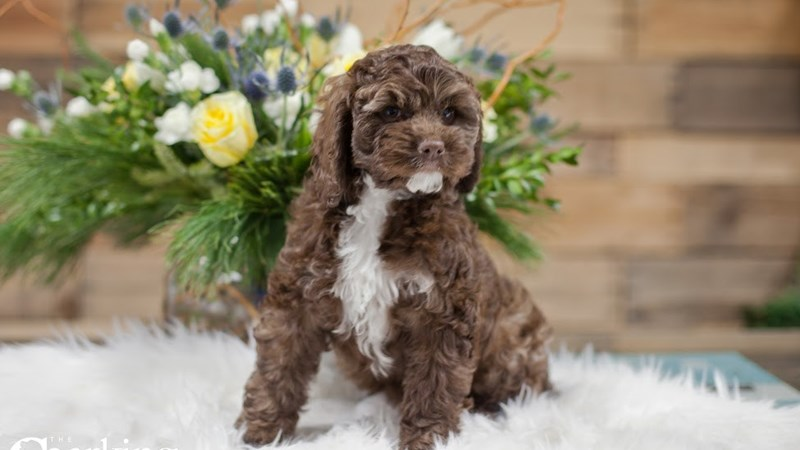 Grand Rapids Cockapoo Puppies
