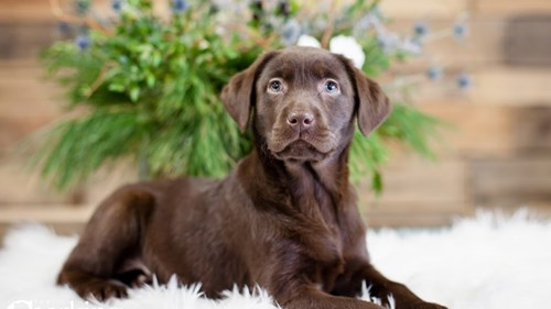 Grand Rapids Labrador Retriever Puppies for sale