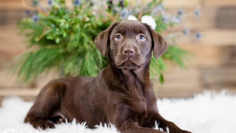 Grand Rapids Labrador Retriever Puppies