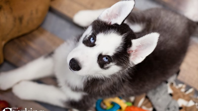 Grand Rapids Siberian Husky Puppies