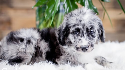 Grand Rapids Poodle/australian Shepherd Puppies for sale
