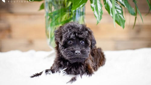 Grand Rapids Woodle Mini Puppies for sale
