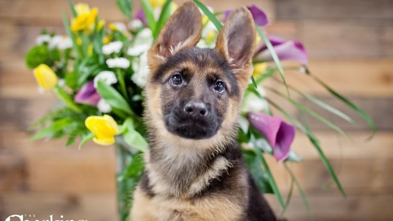 Grand Rapids German Shepherd Puppies