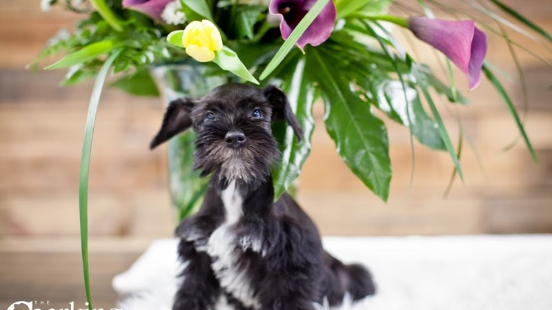 Grand Rapids Miniature Schnauzer Puppies