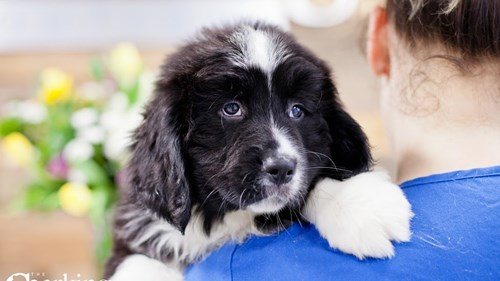 Grand Rapids Mini Bernedoodle Puppies for sale