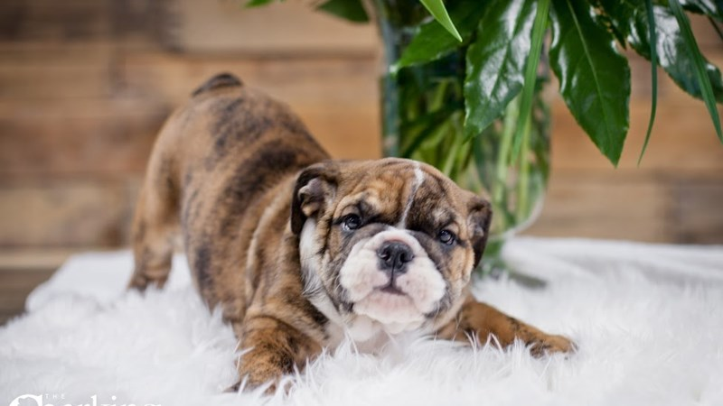Grand Rapids English Bulldog Puppies