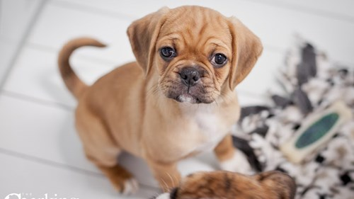 Grand Rapids Puggle Puppies for sale