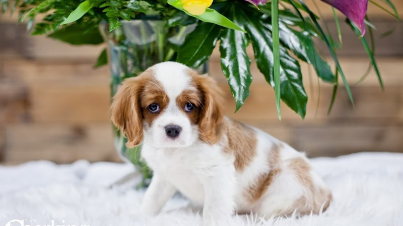 Grand Rapids Cavalier King Charles Spaniel Puppies