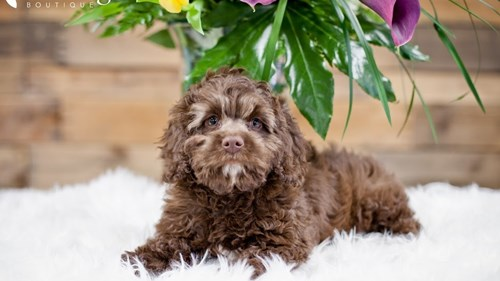 Grand Rapids Cockapoo Puppies for sale