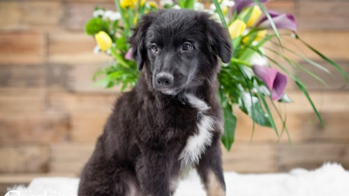 Grand Rapids Australian Shepherd Puppies for sale