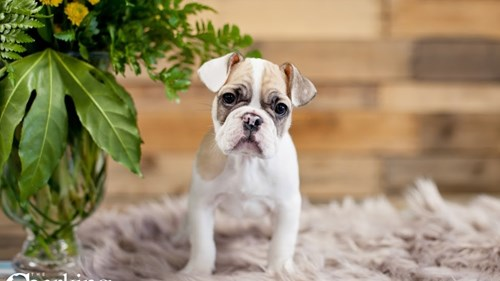Grand Rapids French Bulldog Puppies for sale