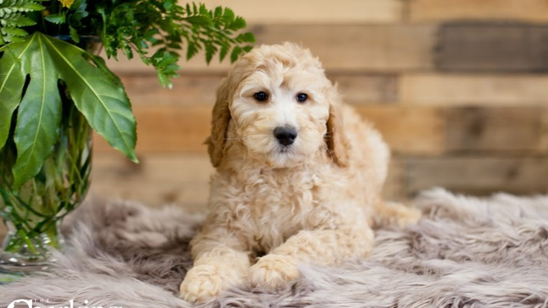 Grand Rapids Goldendoodle 2nd Gen Puppies