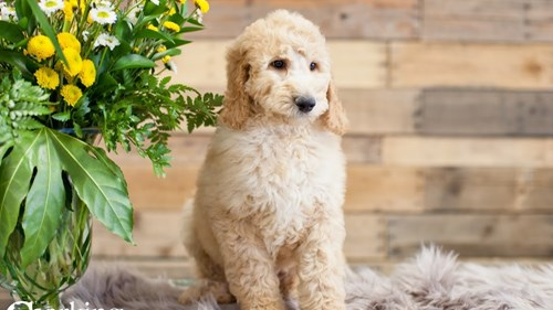 Grand Rapids Goldendoodle 2nd Gen Puppies for sale