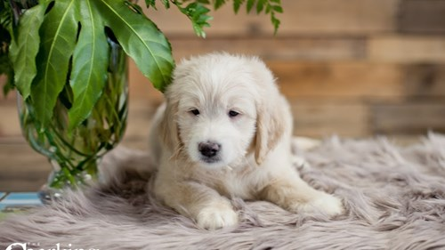 Grand Rapids Goldendoodle Mini Puppies for sale