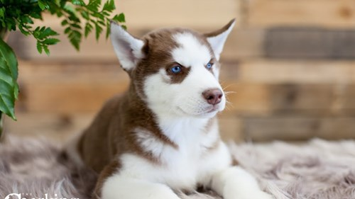 Grand Rapids Siberian Husky Puppies for sale
