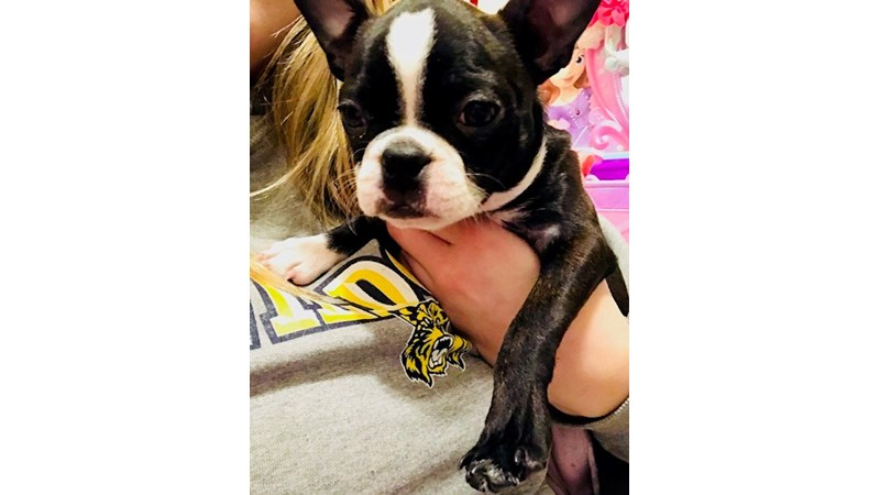 Grand Rapids Boston Terrier Puppies