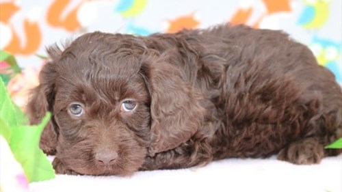 Grand Rapids Miniature Poodle/cocker Spaniel Puppies for sale