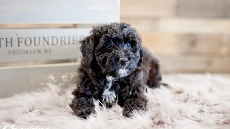 Grand Rapids Mini Bernadoodle Puppies