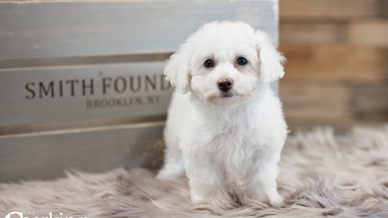 Grand Rapids Bichon Frise Puppies