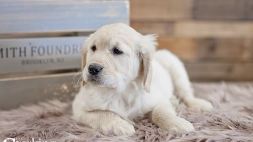 Grand Rapids Golden Retriever Puppies for sale