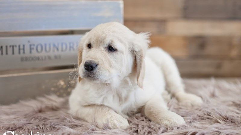 Grand Rapids Golden Retriever Puppies