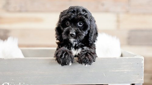 Grand Rapids Poodle/cavalier King Puppies for sale
