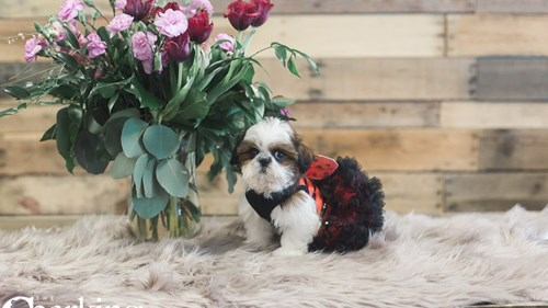 Grand Rapids Shih Tzu Puppies for sale