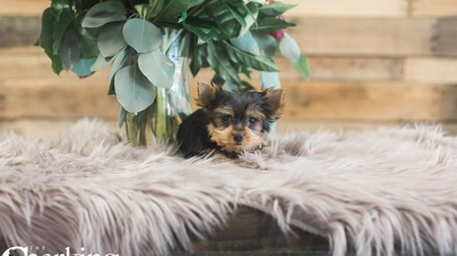 Grand Rapids Yorkshire Terrier Puppies for sale