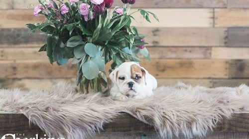 Grand Rapids Bulldog Puppies for sale