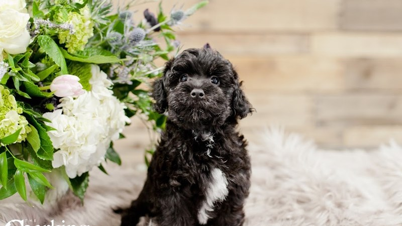 Grand Rapids Havanese/poodle Puppies
