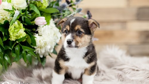 Grand Rapids Pembroke Welsh Corgi Puppies for sale