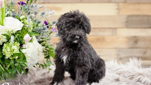 Grand Rapids Bernadoodle Puppies for sale