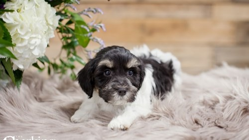 Grand Rapids Havanese Puppies for sale