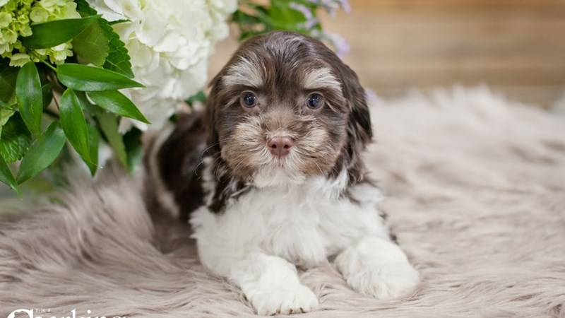 Grand Rapids Havanese Puppies