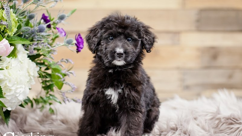 Grand Rapids Bernadoodle Puppies