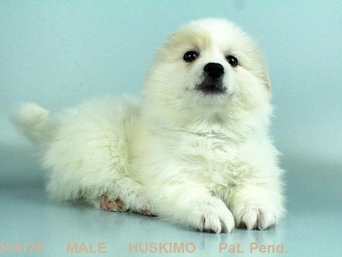 snowball a lost dog is missing in henderson nv 89014