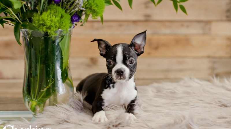 Grand Rapids Frenchton Puppies