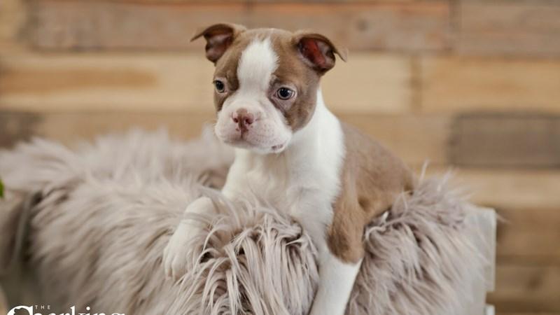 Grand Rapids Boston Terrier Puppies