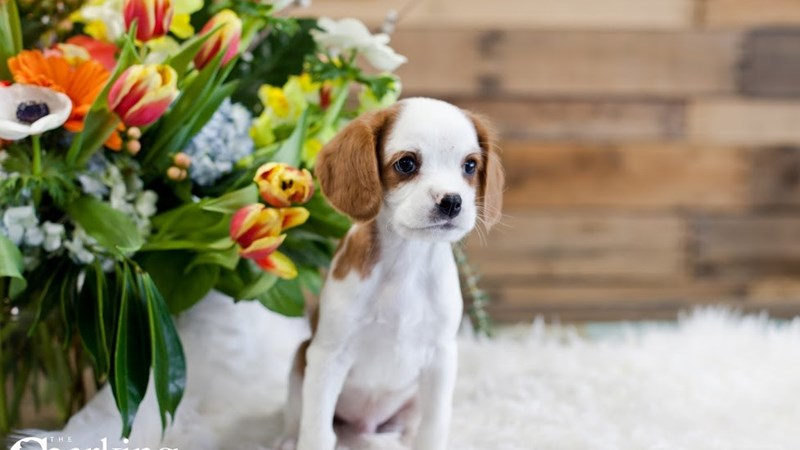 Grand Rapids Cavalier King Charles Spaniel/beagle Puppies