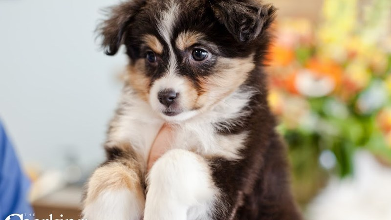 Grand Rapids Australian Shepherd Puppies